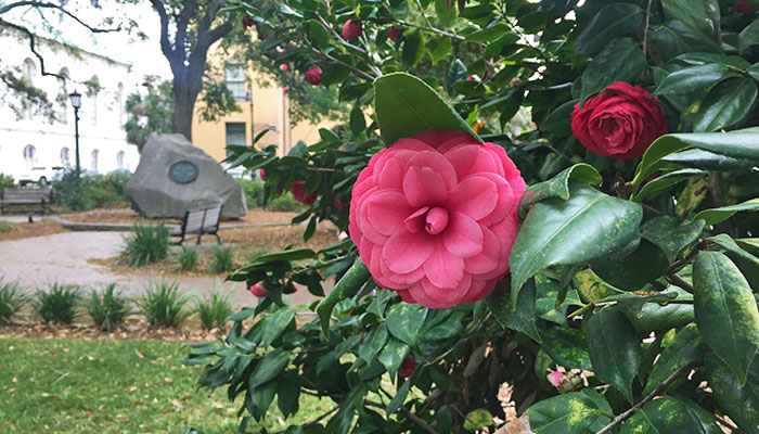 Camellias in Telfair Square in Savannah
