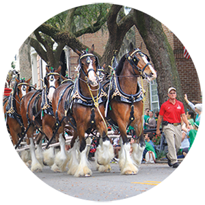 Clydesdale Horses in the Savannah St Patricks Day Parade