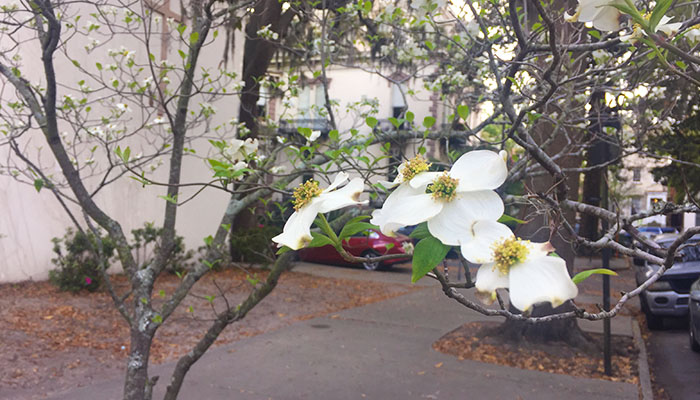 Dogwood Tree at Lafayette Square in Savannah