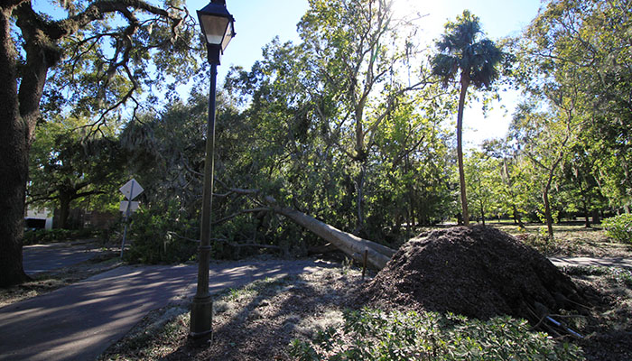 Fallen Tree in Forsyth Park after Hurricane Matthew