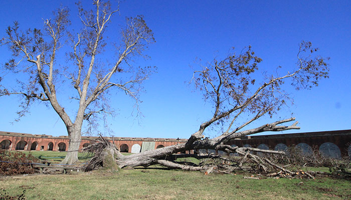 Fort Pulaski Tree Down after Hurricane Matthew