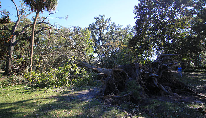 Tree Down in Forsyth Park after Hurricane Matthew